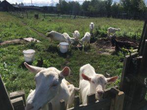 Свое хозяйство - козы
